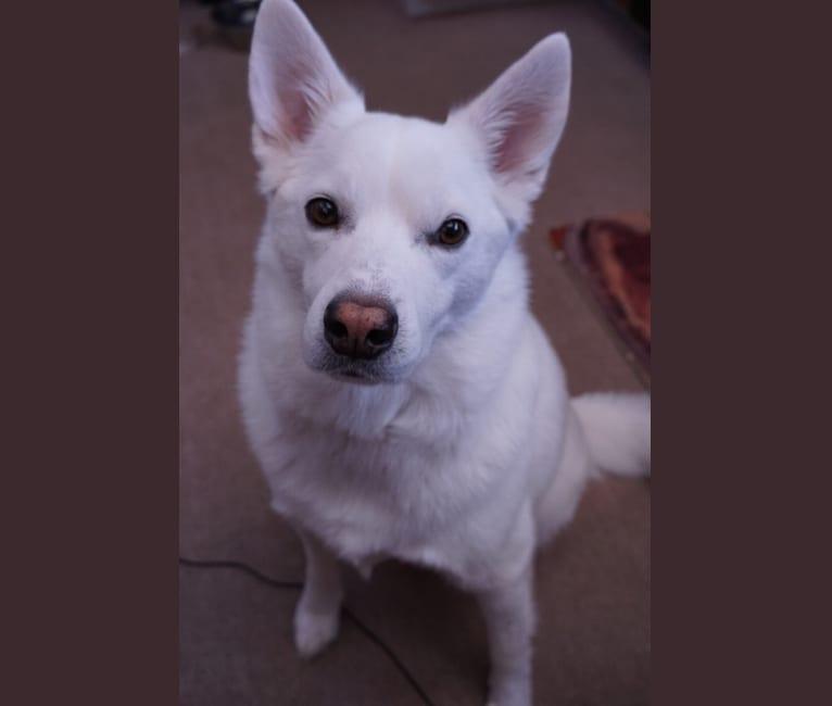 Photo of Shadow, an American Eskimo Dog mix in Colorado Springs, Colorado, USA
