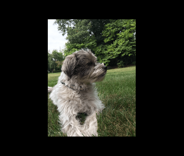 Photo of Dash, a Shih Tzu, Rat Terrier, Australian Cattle Dog, and Poodle (Small) mix in Massachusetts, USA