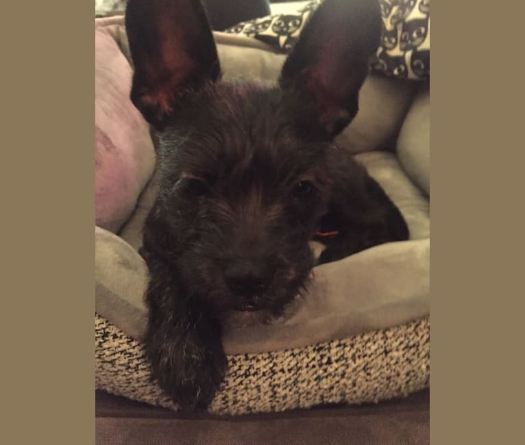 Photo of Fergie, a French Bulldog, Miniature Schnauzer, and Poodle (Small) mix in Salinas, California, USA