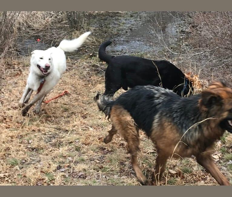 Photo of Lucca, a German Shepherd Dog, Siberian Husky, and Labrador Retriever mix