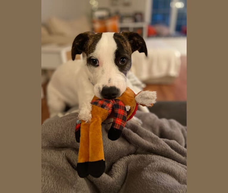 Photo of Tuukka Roo, an American Pit Bull Terrier, Russell-type Terrier, and Mixed mix in Texas, USA