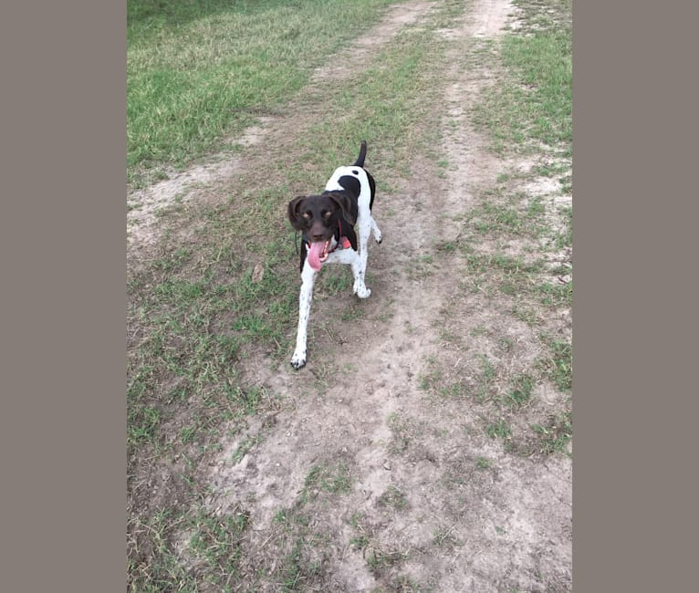 Photo of Remington, a German Shorthaired Pointer  in Driftwood, TX, USA