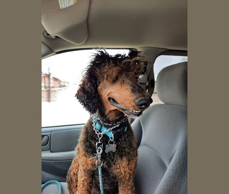 """Photo of Autumn """"TaylorMade the Seasons Change"""", a Poodle (Standard)  in Snowflake, Arizona, USA"""