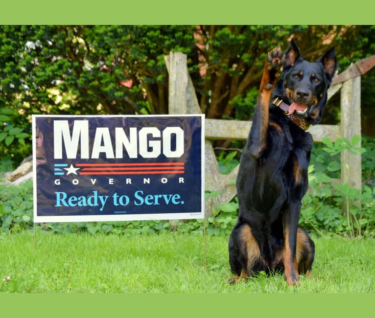 "Photo of My Main Squeeze du Chateau Rocher ""Mango"", a Beauceron  in California, USA"