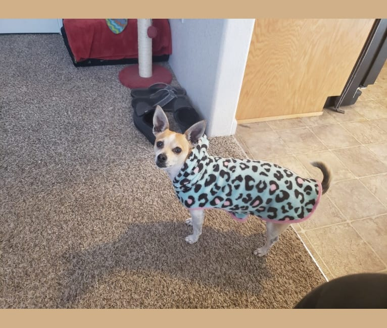 Photo of Irie, a Chihuahua, Poodle (Small), and Mixed mix in San Diego, CA, USA