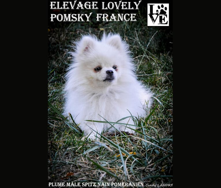 Photo of PLUME, a Pomeranian (21.2% unresolved) in Gripport, France