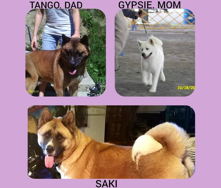 Photo of Saki, an Akita