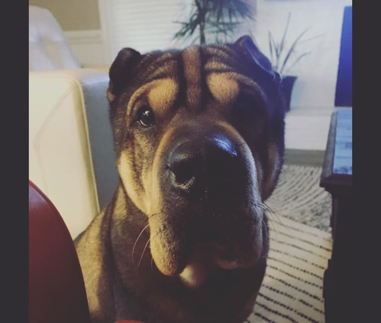 Photo of Meatball, a Chinese Shar-Pei, Chow Chow, and Mixed mix in Chesapeake, Virginia, USA