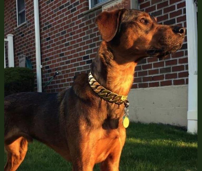 Photo of Milo, a Rottweiler, Golden Retriever, and Mixed mix in Hempstead, New York, USA