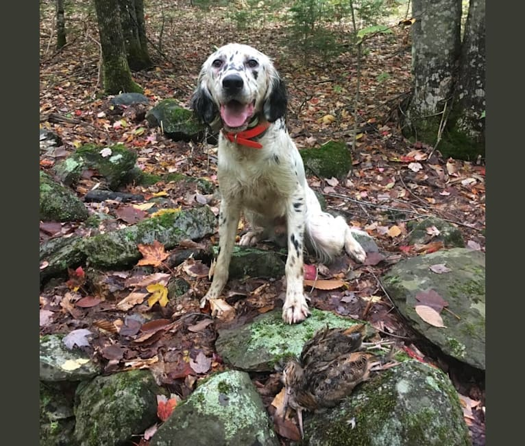 Photo of Brier, a Llewellin Setter