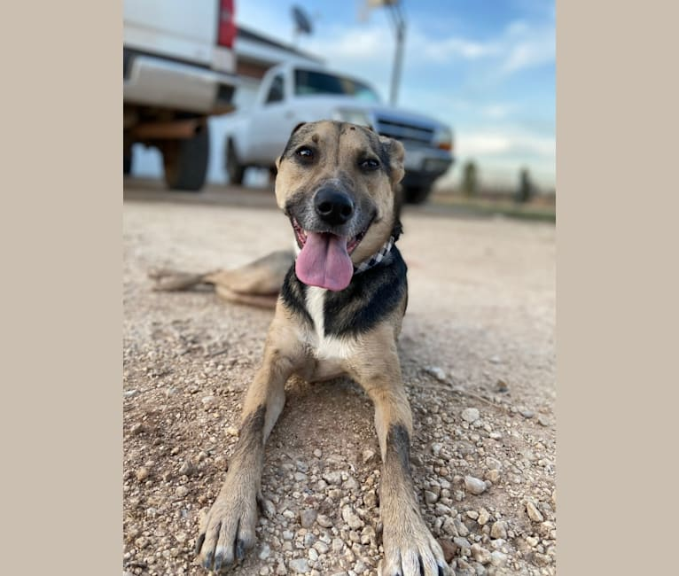 Photo of Jade, an American Pit Bull Terrier, Labrador Retriever, German Shepherd Dog, Chow Chow, Australian Cattle Dog, and Mixed mix in Houston, Texas, USA