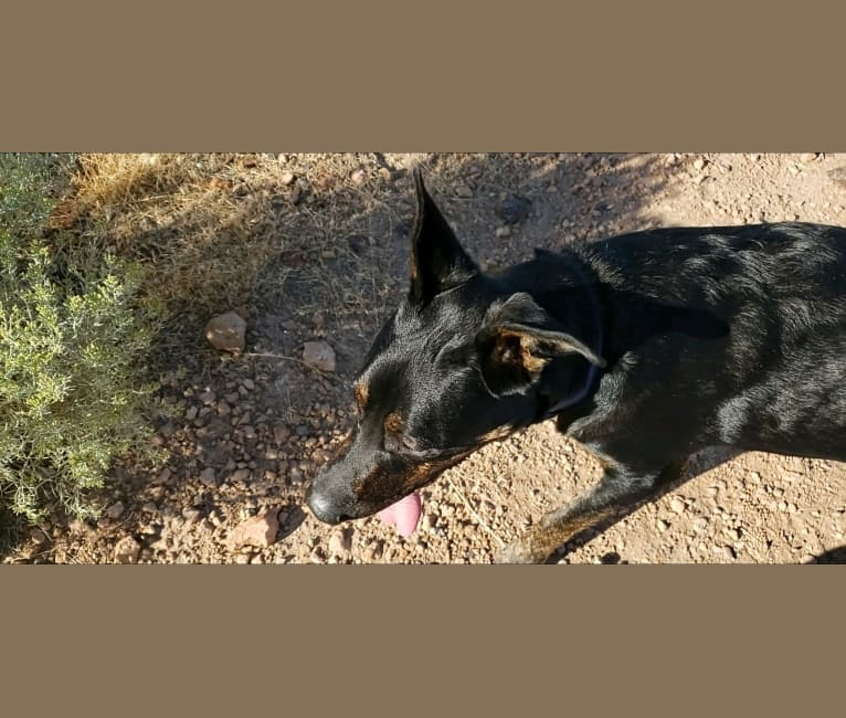 Photo of Kiss, a German Shepherd Dog, Rottweiler, and American Staffordshire Terrier mix in Sparks, Nevada, USA