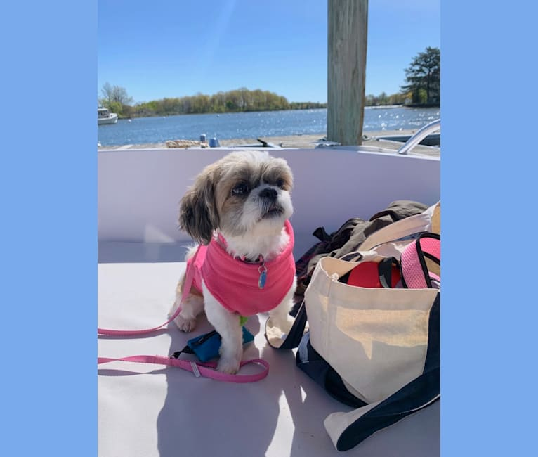 Photo of Zoe, a Shih Tzu  in Portsmouth, New Hampshire, USA
