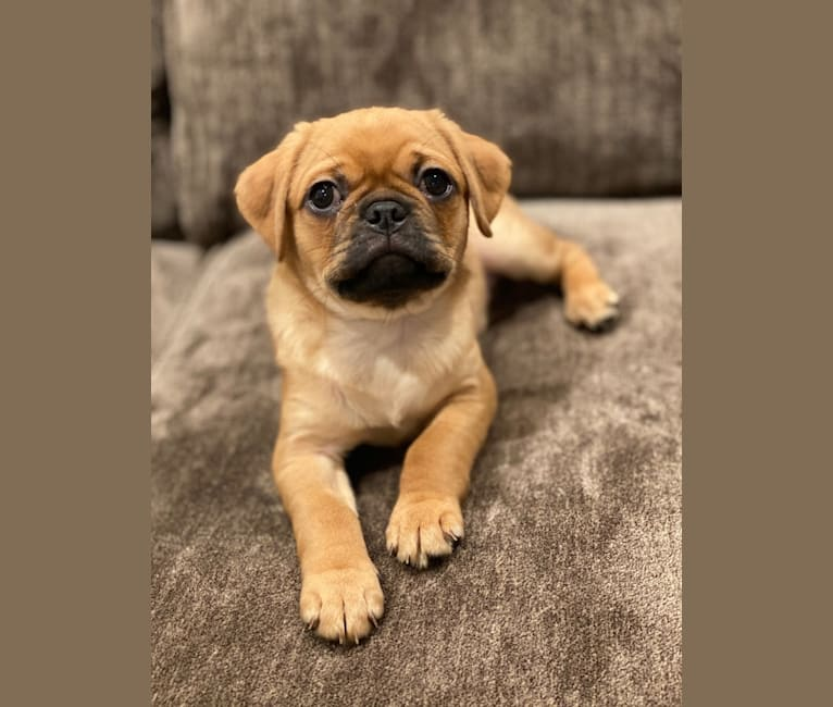 Photo of Dug, a Pug (7.5% unresolved) in Costa Mesa, CA, USA