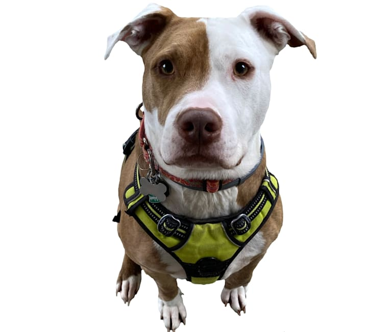 Photo of Bunny Pit Bull, an American Pit Bull Terrier