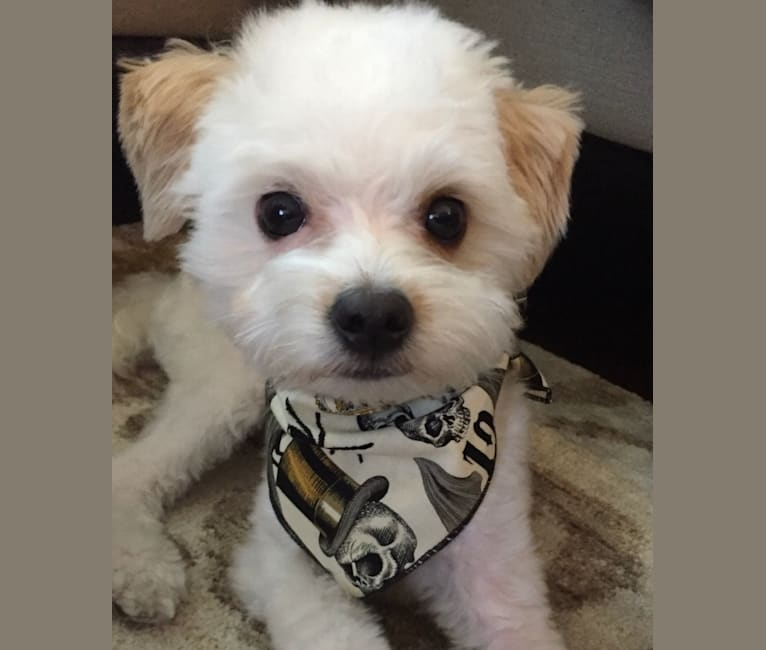 Photo of Morticia, a Poodle (Small), Chihuahua, Bichon Frise, Lhasa Apso, and Mixed mix in Phoenix, Arizona, USA