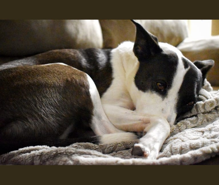 Photo of Kai, a Border Collie, American Pit Bull Terrier, and Mixed mix in Abernathy, TX, USA
