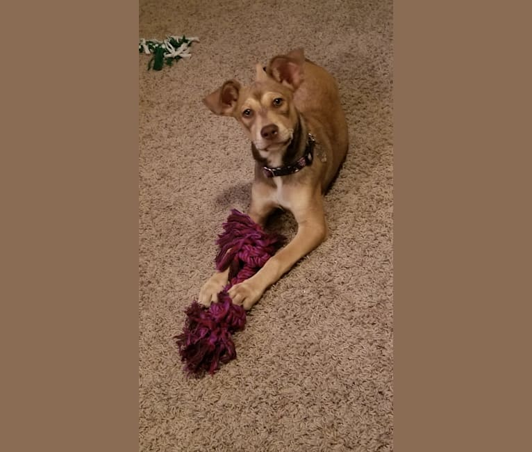 Photo of Luna Astrid, a Siberian Husky, American Pit Bull Terrier, Boxer, and Mixed mix in Pearland, Texas, USA