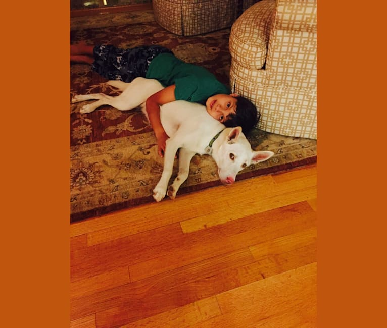 Photo of Sunny, a Siberian Husky, American Pit Bull Terrier, and Mixed mix