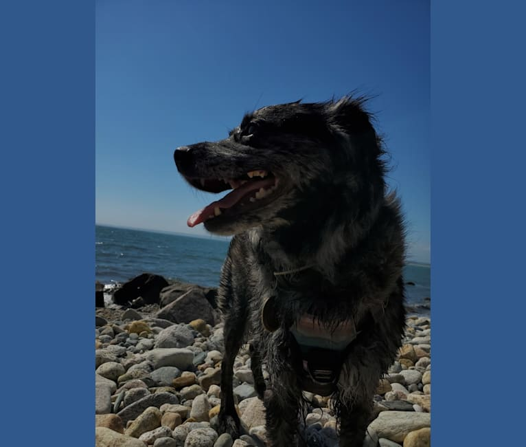 Photo of Mallatobuck, a Chihuahua, Shih Tzu, Australian Cattle Dog, Australian Shepherd, Border Collie, and American Eskimo Dog mix in Massachusetts, USA