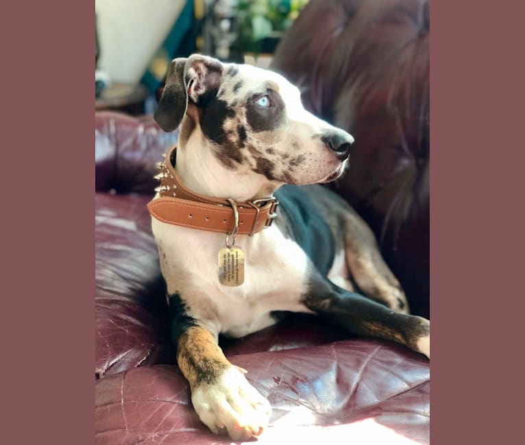 Photo of Auto, a Catahoula Leopard Dog  in Hollister, CA, USA