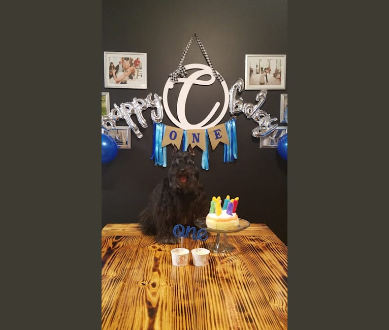 Photo of Dreaming of Castyn a Chocolate Spell, a Miniature Schnauzer  in Poplarville, MS, USA