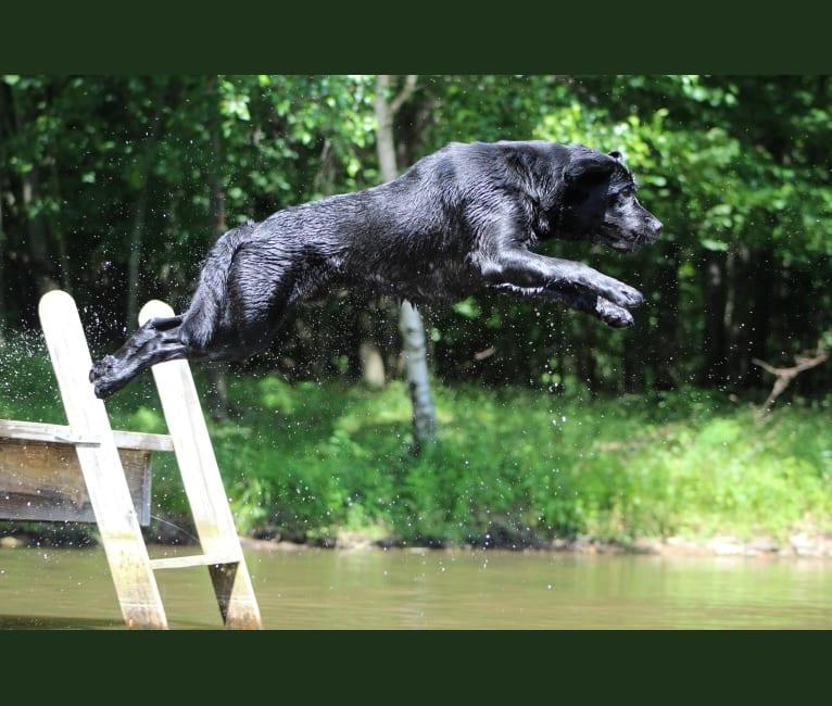Photo of Bruin, a Labrador Retriever