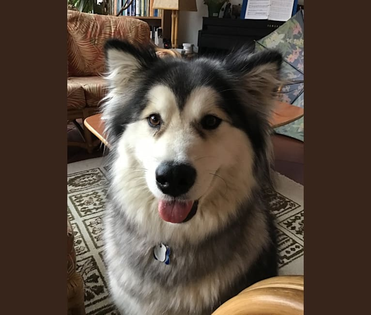 Photo of Mishka, an Alaskan Malamute  in Baywood-Los Osos, California, USA