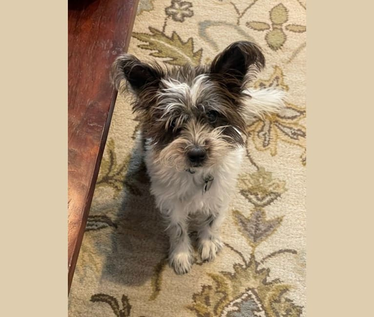 Photo of Barley, a Miniature Schnauzer, Australian Cattle Dog, Border Collie, and Mixed mix in Killeen, Texas, USA