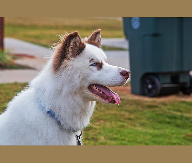 Photo of Hudson, a Siberian Husky  in North Carolina, USA