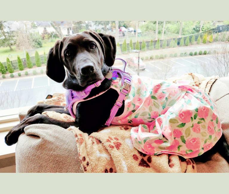 Photo of Heidi Marlene Gore, an American Foxhound, Labrador Retriever, and Bluetick Coonhound mix in Shallotte, North Carolina, USA