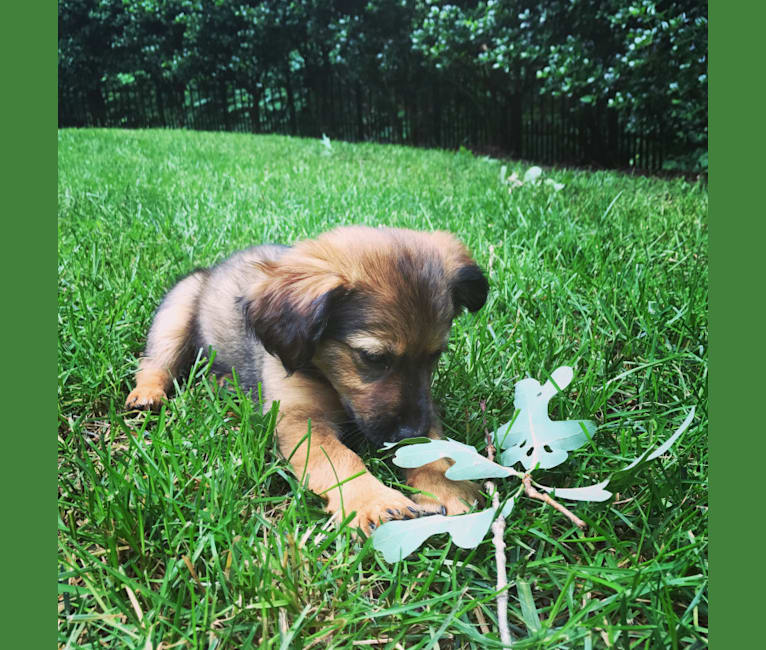 Photo of Harley Belle, a Chihuahua, Labrador Retriever, Russell-type Terrier, Pomeranian, and Mixed mix in Tennessee, USA