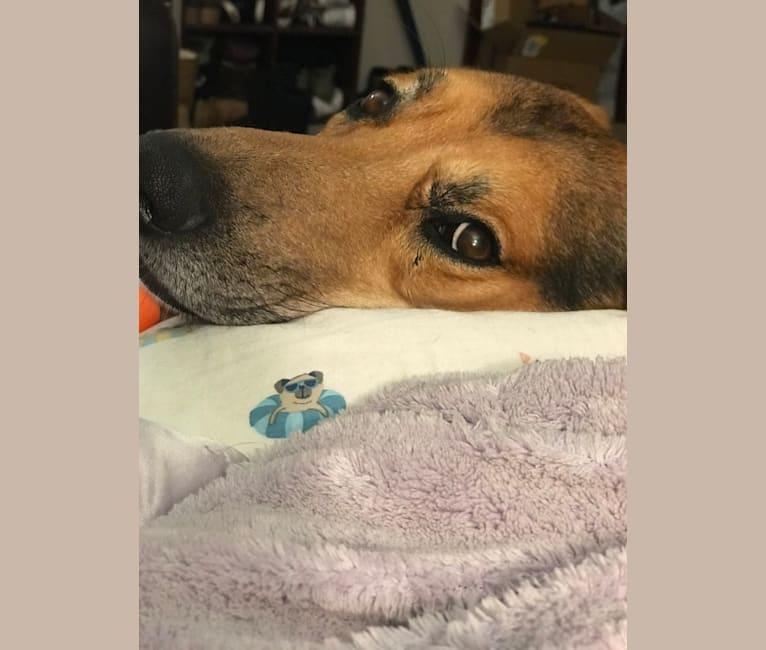 Photo of Ashi, a German Shepherd Dog, Airedale Terrier, American Pit Bull Terrier, Labrador Retriever, and Siberian Husky mix in Denver, Colorado, USA
