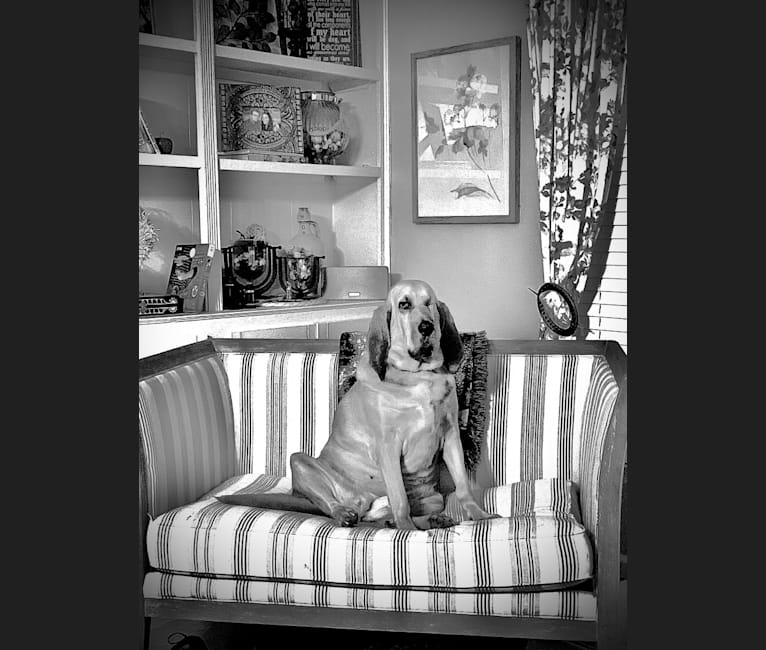 Photo of Clementine, a Bloodhound  in Knightdale, North Carolina, USA