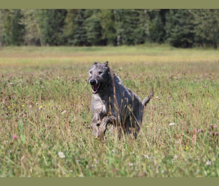 Photo of Bella, an Irish Wolfhound  in Crescent Spur, British Columbia, Canada