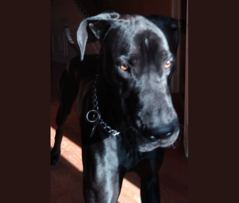 Photo of JOE, a Great Dane  in Alabama, USA
