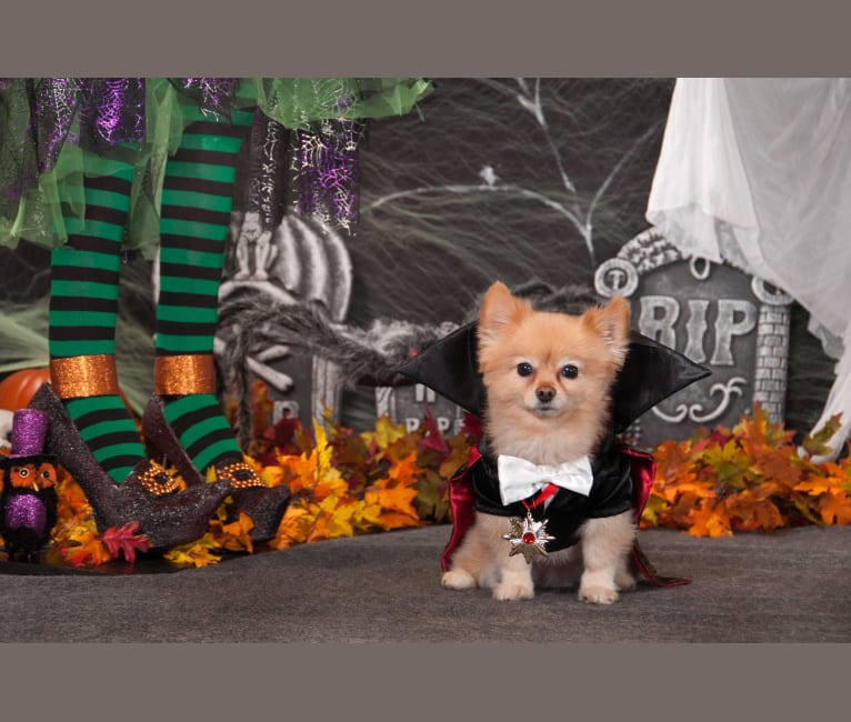 Photo of Pumpkin, a Pomeranian  in Frankfort, Illinois, USA