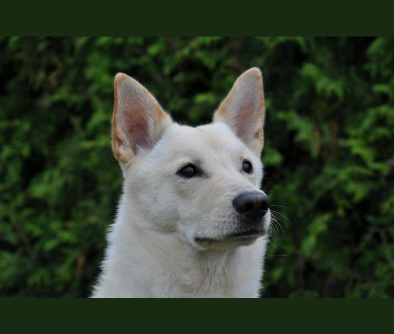 Photo of Asherah, a Canaan Dog  in Trelleborg, Skåne län, Sverige