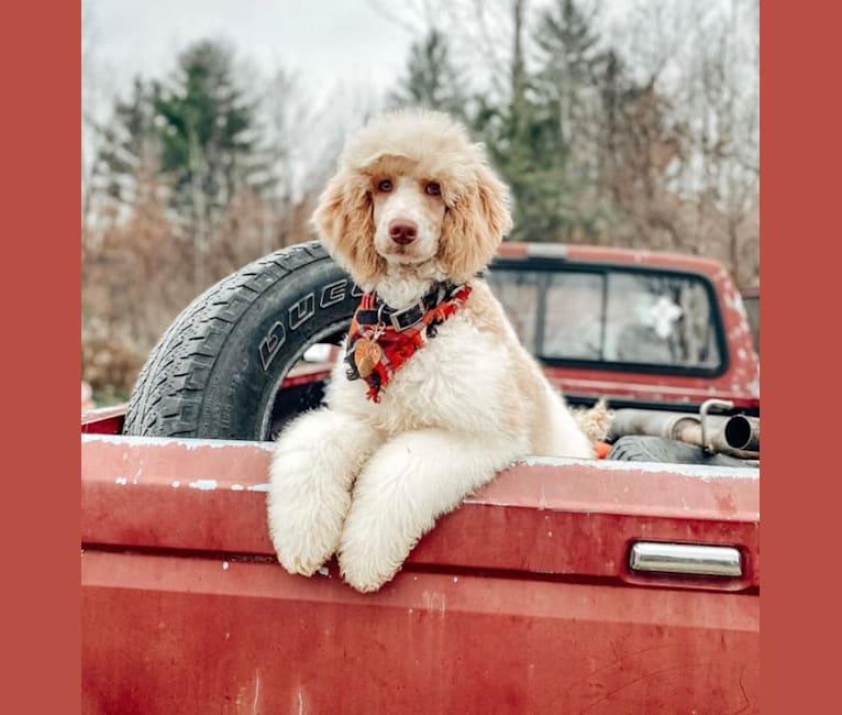 Photo of Togan, a Poodle (Standard)  in St. Ignace, MI, USA