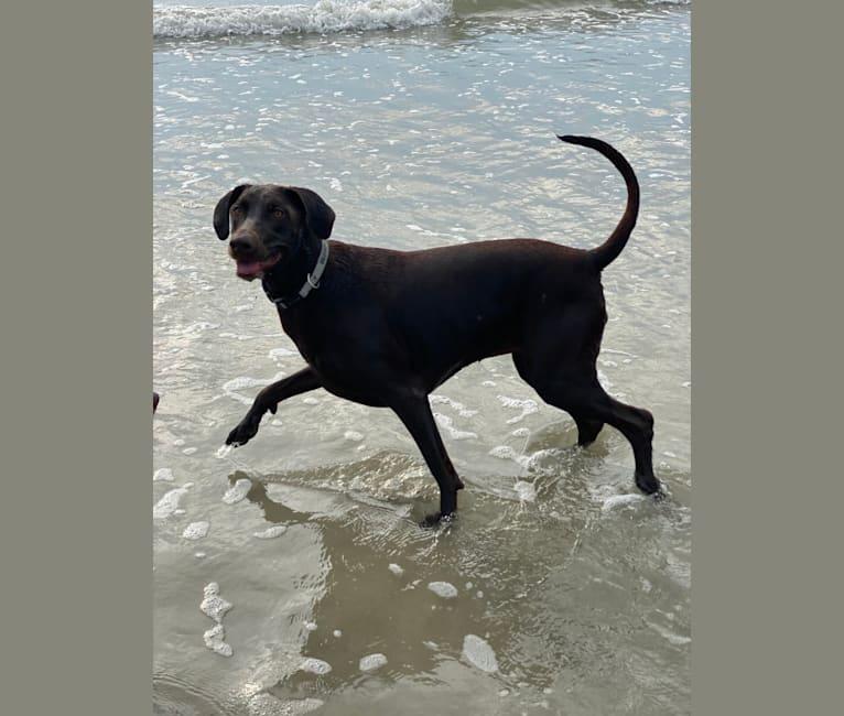 Photo of Stella, a Doberman Pinscher and Labrador Retriever mix