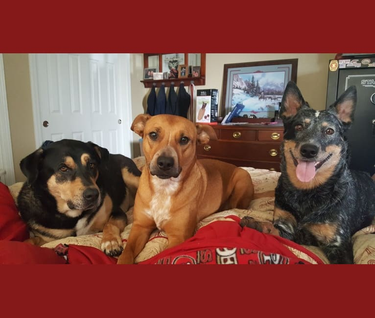 Photo of Bandee Joy, an Australian Cattle Dog, American Pit Bull Terrier, Border Collie, and German Shepherd Dog mix in Montana, USA