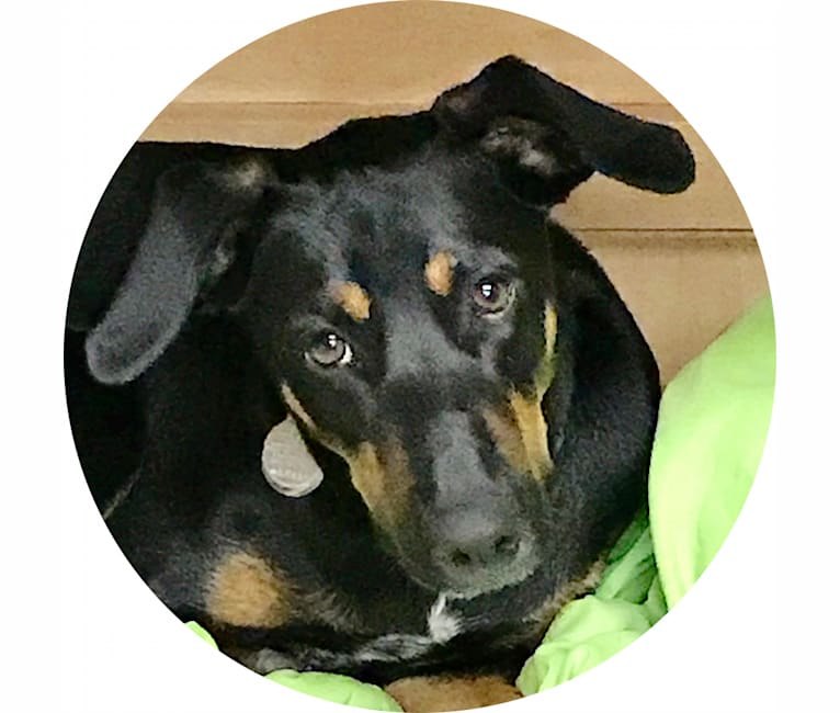 Photo of Beau, a Doberman Pinscher and American Pit Bull Terrier mix in Texas, USA