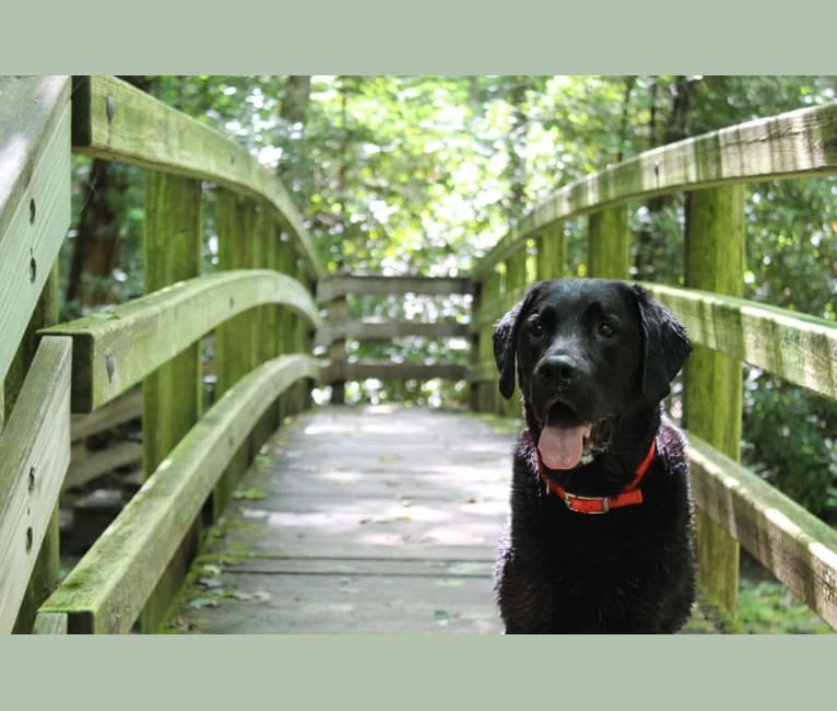 Photo of Zuko, a Labrador Retriever