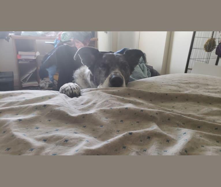 Photo of Cleo, a Great Dane, German Shepherd Dog, and Golden Retriever mix in Rosenberg, Texas, USA