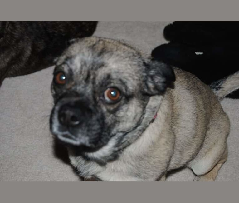 Photo of Snort, a Pug and Australian Cattle Dog mix in Roy, Utah, USA