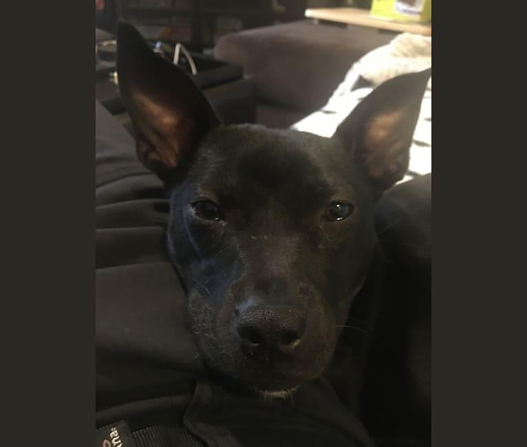 Photo of Umbra, an American Pit Bull Terrier, Bulldog, and Mixed mix in Darlington, South Carolina, USA