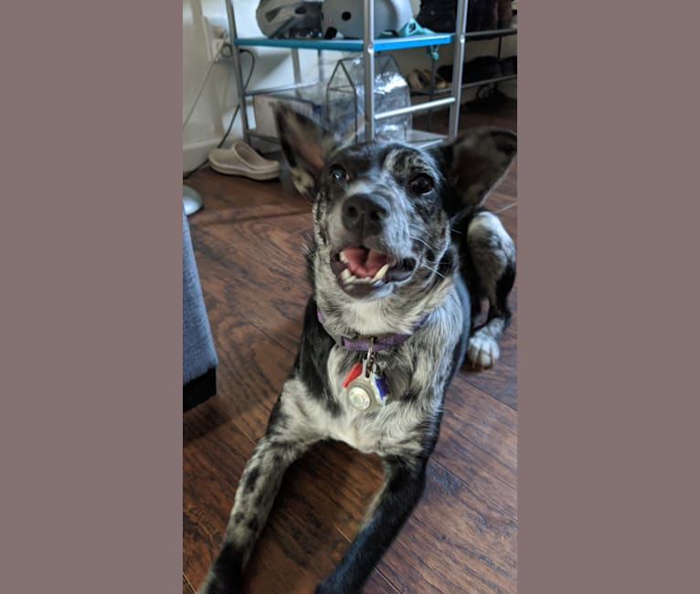 Photo of Indigo, an American Pit Bull Terrier, Australian Cattle Dog, Australian Shepherd, and Mixed mix in New Mexico, USA