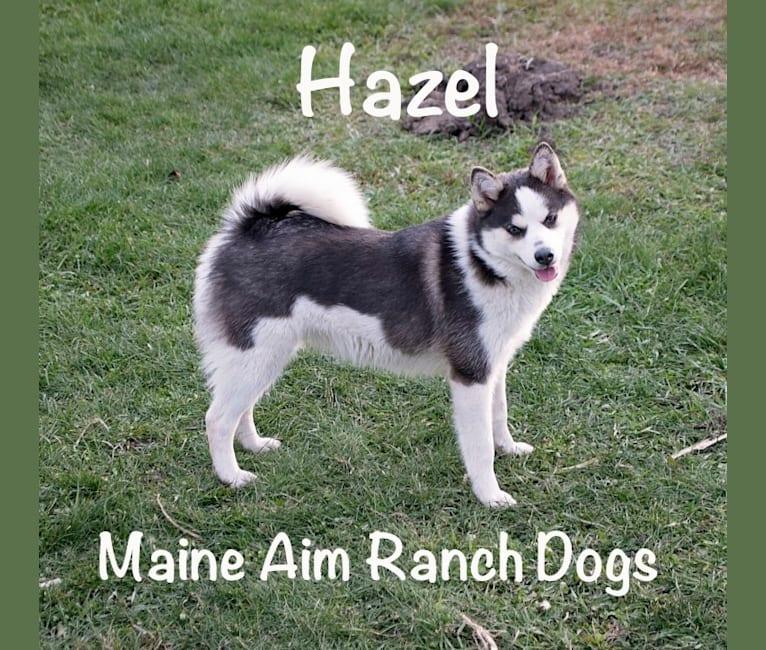 Photo of Hazel, a Pomsky  in Allerton, IA, USA