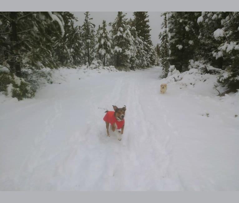 Photo of Goblin, an Australian Shepherd and American Bully mix in Beaverton, Oregon, USA