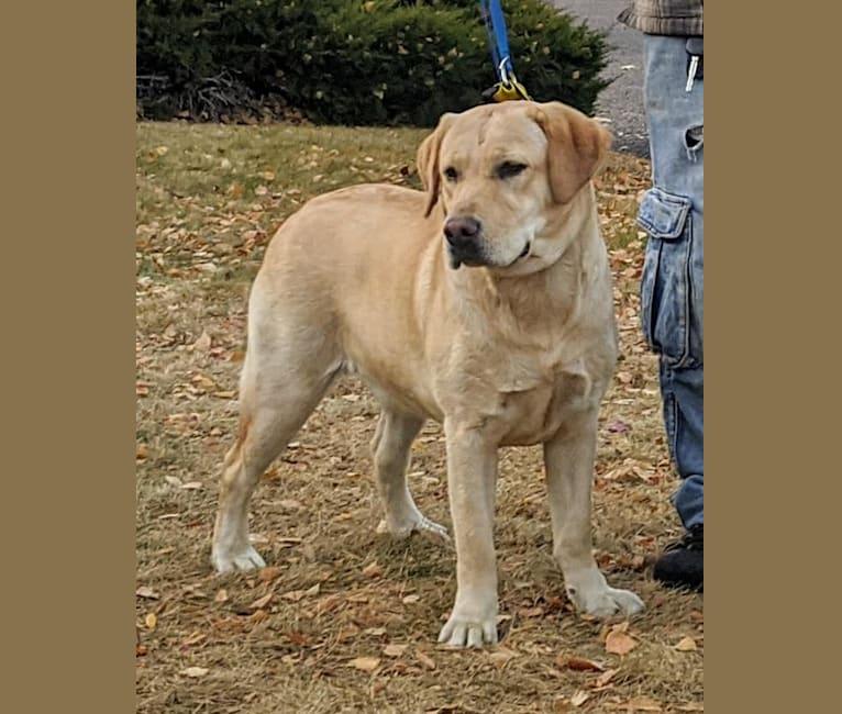 Photo of Annie, a Labrador Retriever  in Buffalo, IL, USA